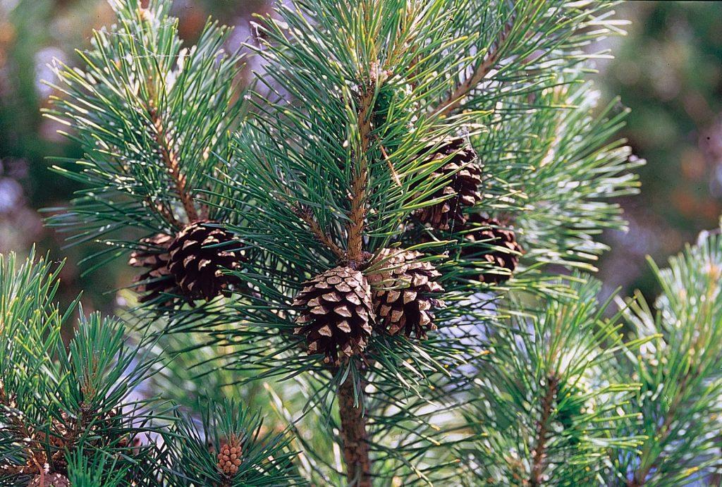 Bor bijeli (Pinus sylvestris l)