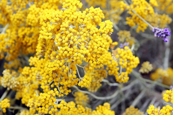 Smilje-Helichrysum-italicum